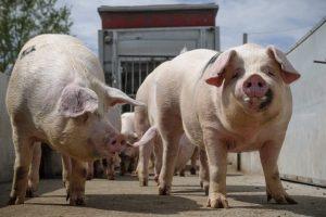 Ismét vihetünk sertéshúst Szerbiába